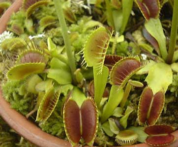 dionaea-muscipula-3.jpg