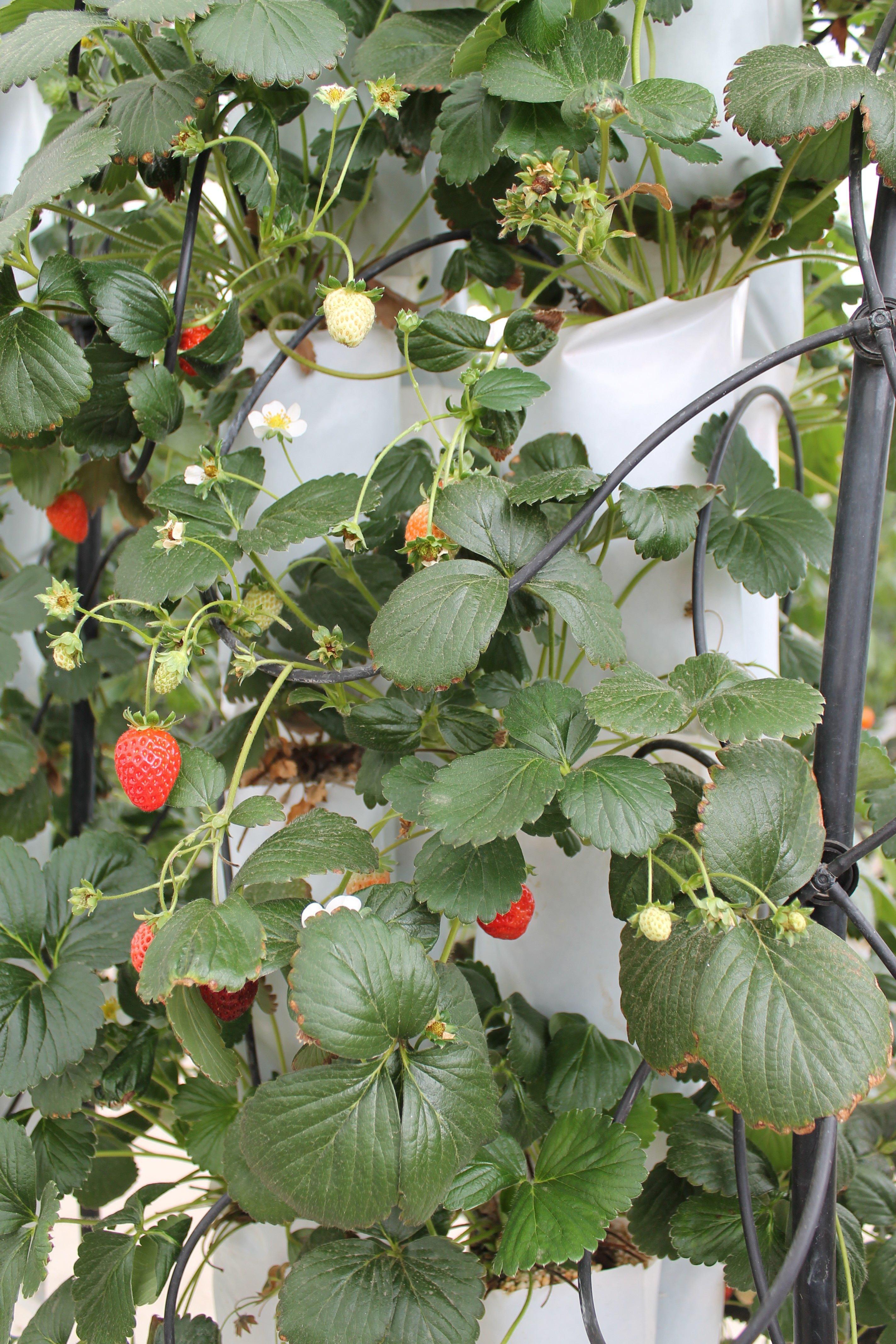 Cultivos hidroponicos y visita a la isla arganda 15m for Que son cultivos asociados